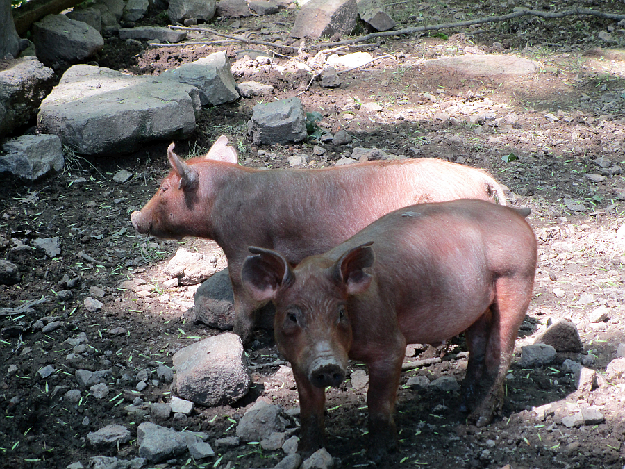 Feeding Time for the Pigs at the Homeplace in the Land Between the Lakes