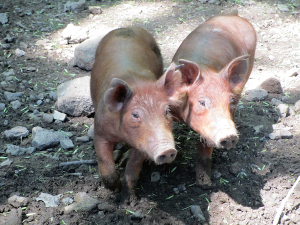 Pigs the Homeplace LBL