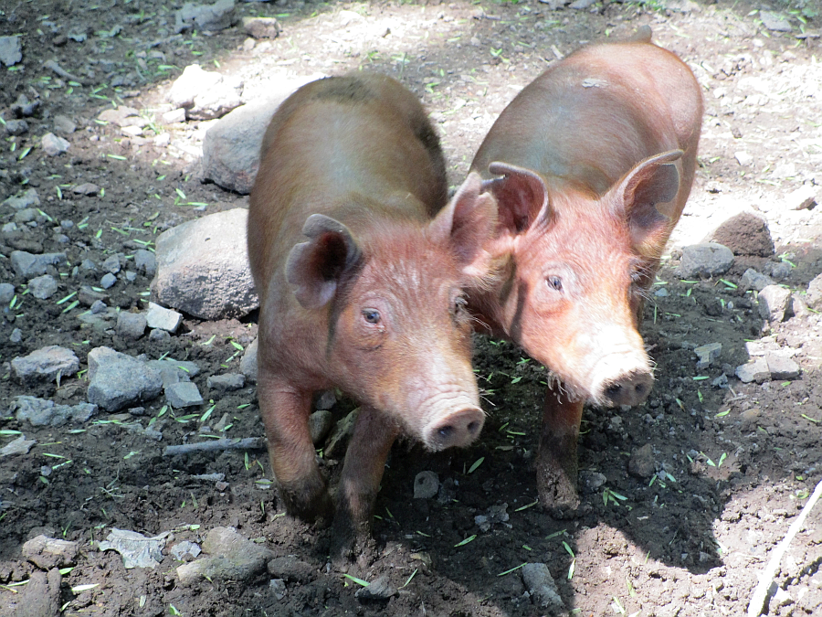 Pigs at the Homeplace in the Land Between the Lakes