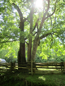 Tree at The Homeplace in the Land Between the Lakes