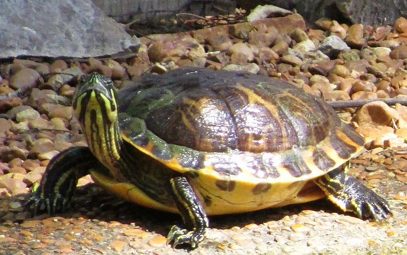 Beautiful Turtle at Woodlands Nature Station