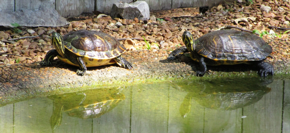 Beautiful (and Smug) Turtles at Woodlands Nature Station in the Land Between the Lakes