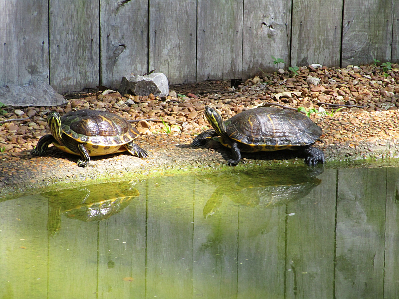 Turtles at Woodlands Nature Station (Land Between the Lakes)