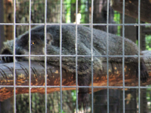 Groundhog at Woodlands Nature Station in Kentucky's LBL