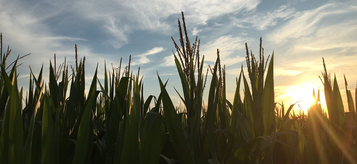 Cornfield in McLean County (Pictures of the Day)