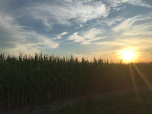 Cornfield in McLean County Kentucky
