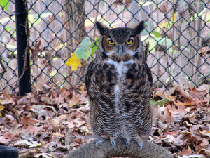 Gorgeous owl at the Nature Station