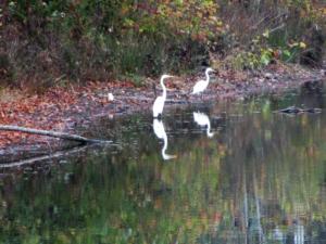 White herons at Kentucky Lake's Catfish Kitchen