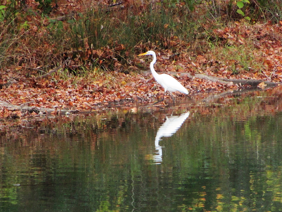 White heron at Kentucky Lake's Catfish Kitchen