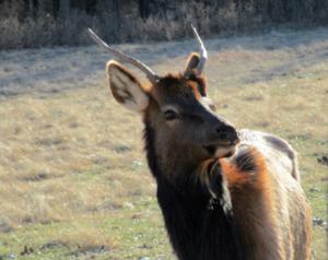 Elk and Bison Prairie January 2017