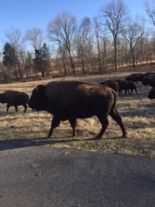 Bison in the Elk and Bison Prairie 2017
