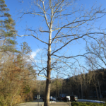 Cumberland Falls State Resort Park Tree