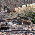 Picture of the Day: Deer at Woodlands Nature Station (Land Between the Lakes)