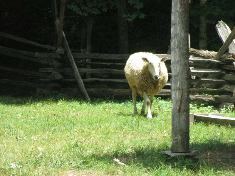 Sheep at The Homeplace LBL