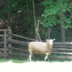2017 Sheep Shearing & Wool Week at the Homeplace 1850s Farm