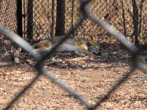 Sleepyhead Coyote