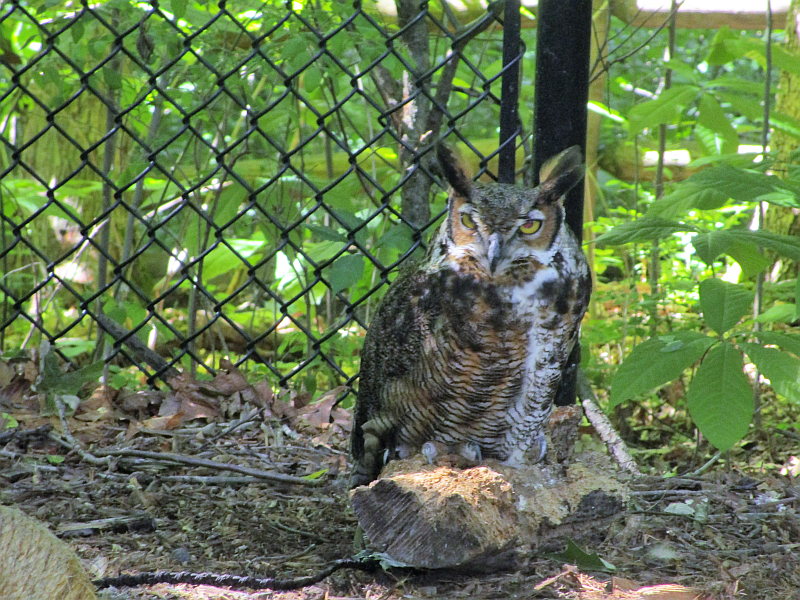 Great Horned Owl Nature Station LBL