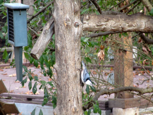 White-Breasted Nuthatch LBL Nature Station