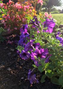 Petunias and Begonias