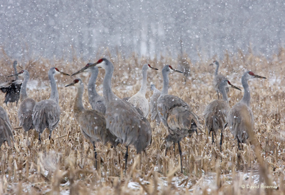 Sandhill Cranes at Barren River Lake State Resort Park